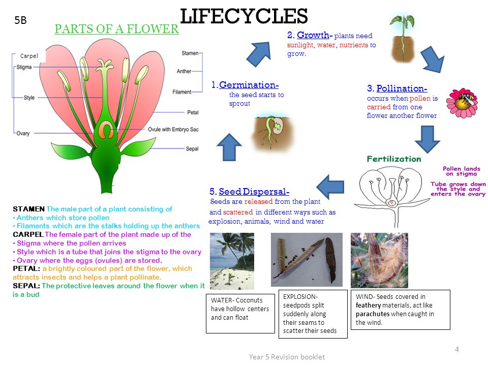 Year 5 Revision booklet 4 5B LIFECYCLES PARTS OF A FLOWER 1.Germination- the seed starts to sprout 3. Pollination- occurs when pollen is carried from
