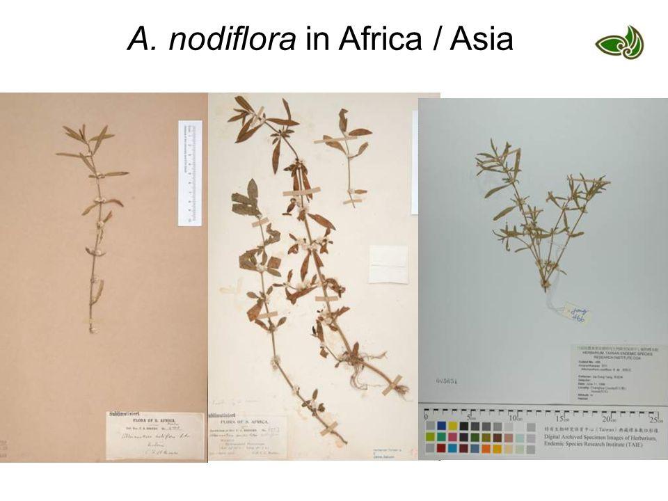 A. nodiflora in Africa / Asia