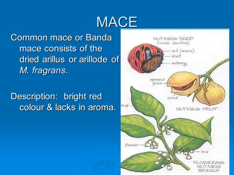 MACE – CONSTITUENTS & USES CONSTITUENTS Volatile oils (similar to that of nutmeg) – eugenol derivatives are the main active constituents – responsible for the anti- bacterial effects.