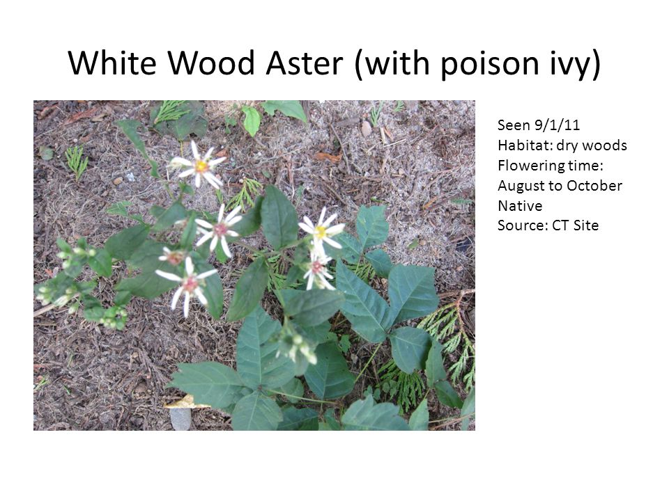 White Wood Aster (with poison ivy) Seen 9/1/11 Habitat: dry woods Flowering time: August to October Native Source: CT Site