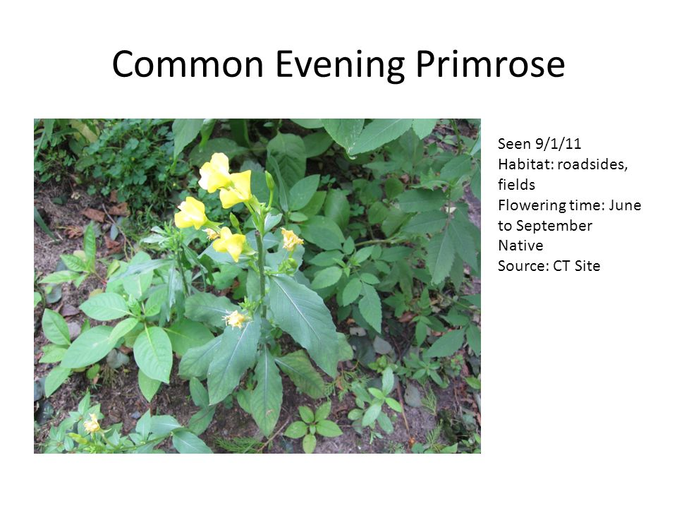Common Evening Primrose Seen 9/1/11 Habitat: roadsides, fields Flowering time: June to September Native Source: CT Site