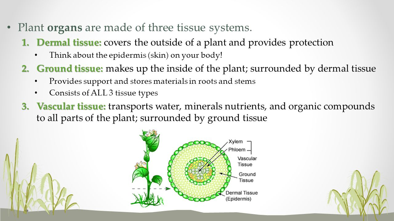 Plant organs are made of three tissue systems. 1.Dermal tissue: 1.Dermal tissue: covers the outside of a plant and provides protection Think about the