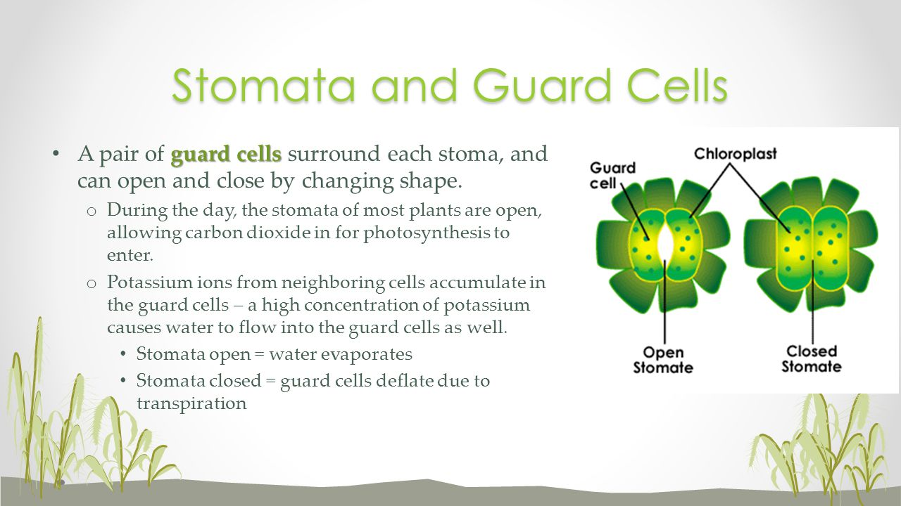 guard cells A pair of guard cells surround each stoma, and can open and close by changing shape. o During the day, the stomata of most plants are open