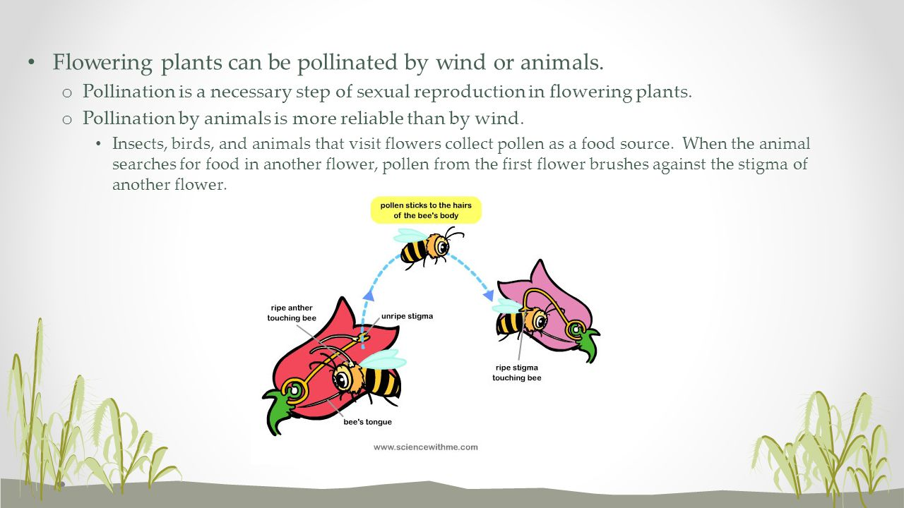 Flowering plants can be pollinated by wind or animals. o Pollination is a necessary step of sexual reproduction in flowering plants. o Pollination by