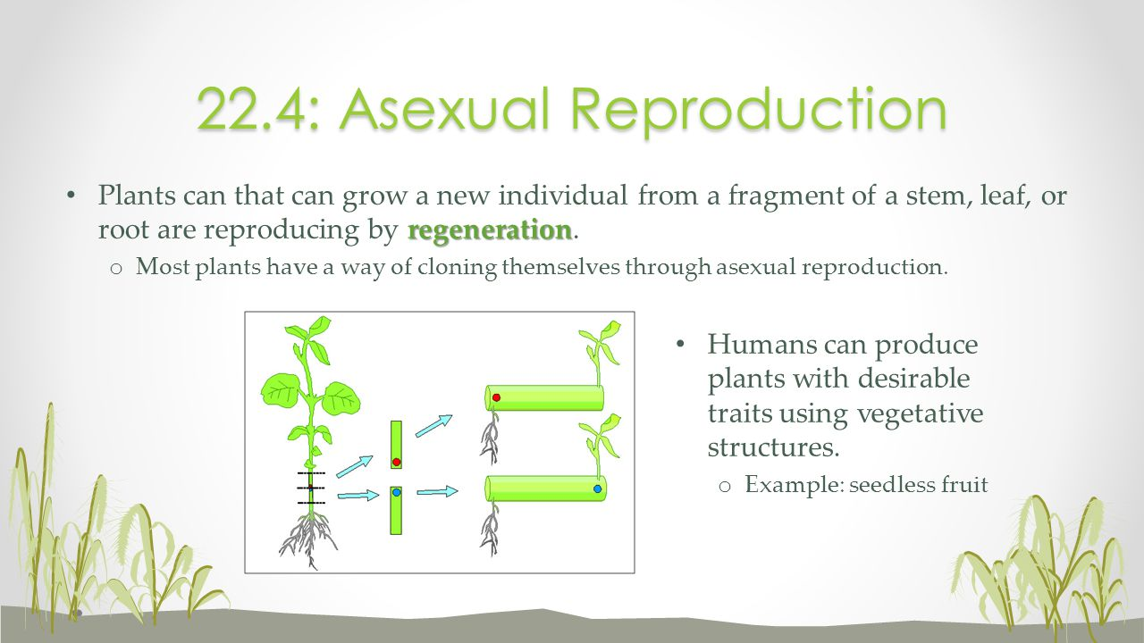 regeneration Plants can that can grow a new individual from a fragment of a stem, leaf, or root are reproducing by regeneration. o Most plants have a
