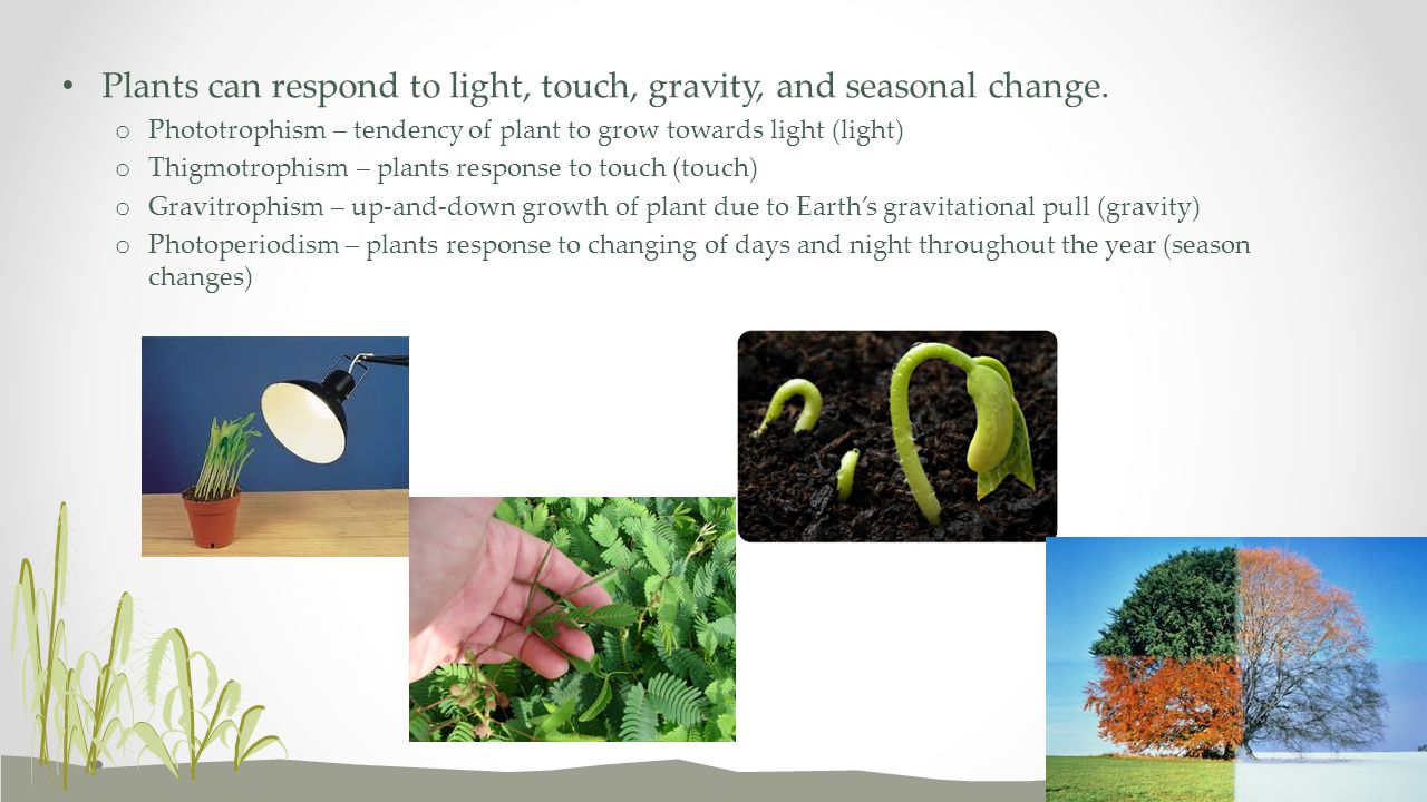 Plants can respond to light, touch, gravity, and seasonal change. o Phototrophism – tendency of plant to grow towards light (light) o Thigmotrophism –