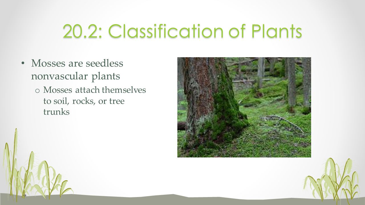 Mosses are seedless nonvascular plants o Mosses attach themselves to soil, rocks, or tree trunks 20.2: Classification of Plants