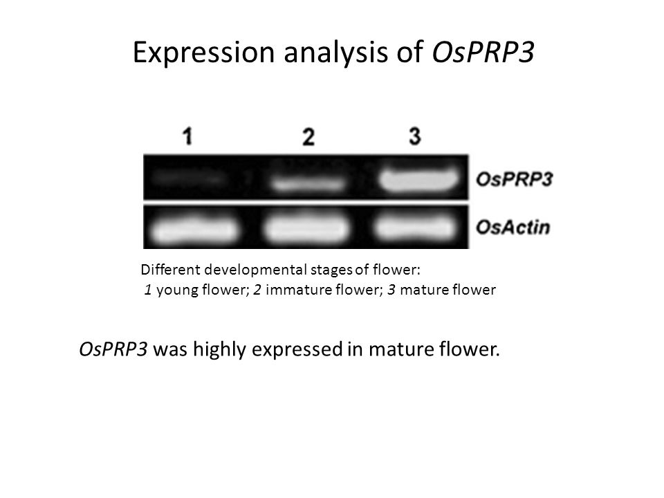 Different developmental stages of flower: 1 young flower; 2 immature flower; 3 mature flower Expression analysis of OsPRP3 OsPRP3 was highly expressed in mature flower.