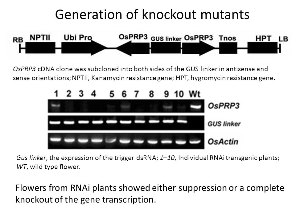 Gus linker, the expression of the trigger dsRNA; 1–10, Individual RNAi transgenic plants; WT, wild type flower.