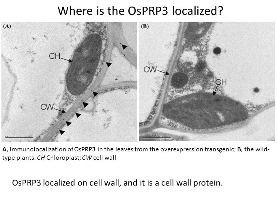 A, Immunolocalization of OsPRP3 in the leaves from the overexpression transgenic; B, the wild- type plants.
