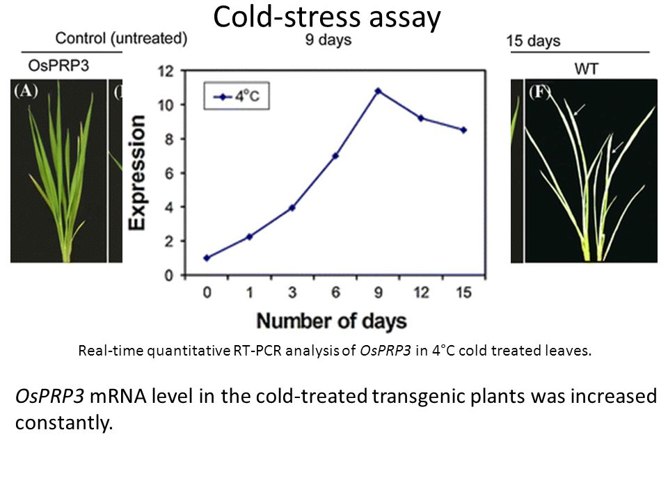 Cold-stress assay Real-time quantitative RT-PCR analysis of OsPRP3 in 4°C cold treated leaves.