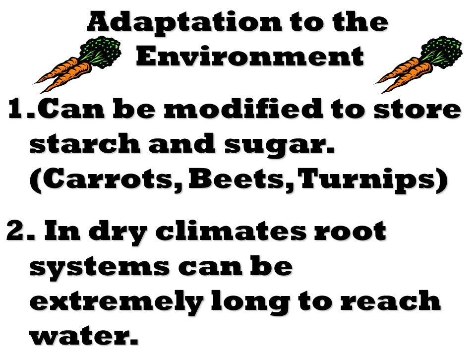 Adaptation to the Environment 1.Can be modified to store starch and sugar. (Carrots, Beets, Turnips) 2. In dry climates root systems can be extremely