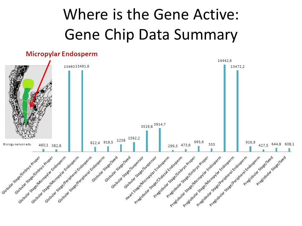 Where is the Gene Active: Gene Chip Data Summary Micropylar Endosperm Biology.kenyon.edu