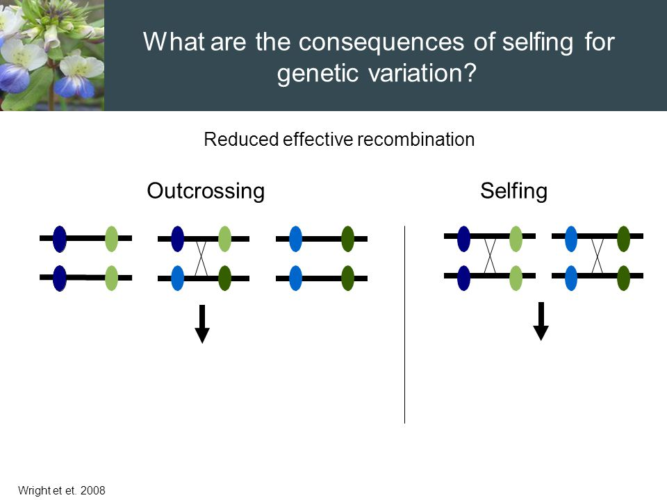 Reduced effective recombination Wright et et. 2008 OutcrossingSelfing What are the consequences of selfing for genetic variation?