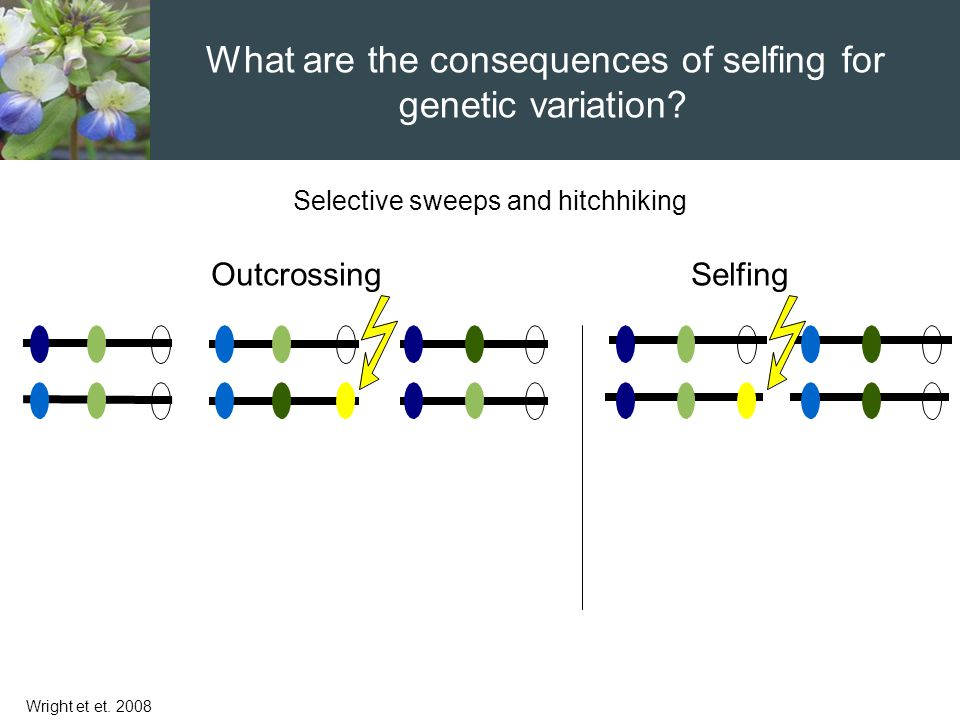 Selective sweeps and hitchhiking Wright et et. 2008 OutcrossingSelfing What are the consequences of selfing for genetic variation?