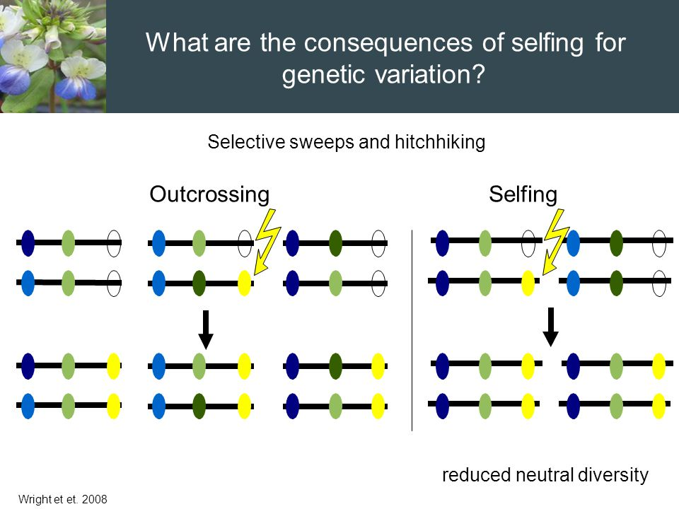 reduced neutral diversity Selective sweeps and hitchhiking Wright et et. 2008 OutcrossingSelfing What are the consequences of selfing for genetic vari