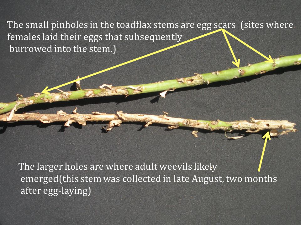 Eggs laid per centimeter of stem on Dalmation toadflax (results from five sites found along Colorado Front Range) Egg scars per cm of stem 2010 2011 2012 2013 Year