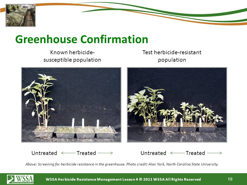 WSSA Herbicide Resistance Management Lesson 4 © 2011 WSSA All Rights Reserved Greenhouse Confirmation The best method for confirming herbicide resista