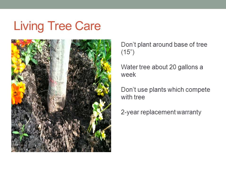 Living Tree Care Dont plant around base of tree (15) Water tree about 20 gallons a week Dont use plants which compete with tree 2-year replacement warranty