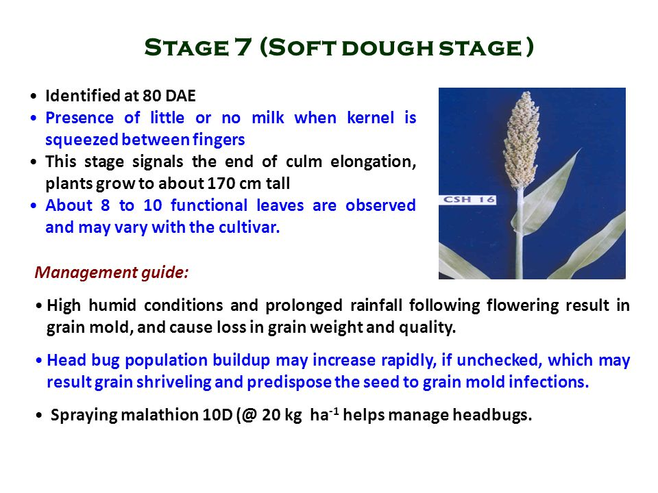 Identified at 80 DAE Presence of little or no milk when kernel is squeezed between fingers This stage signals the end of culm elongation, plants grow