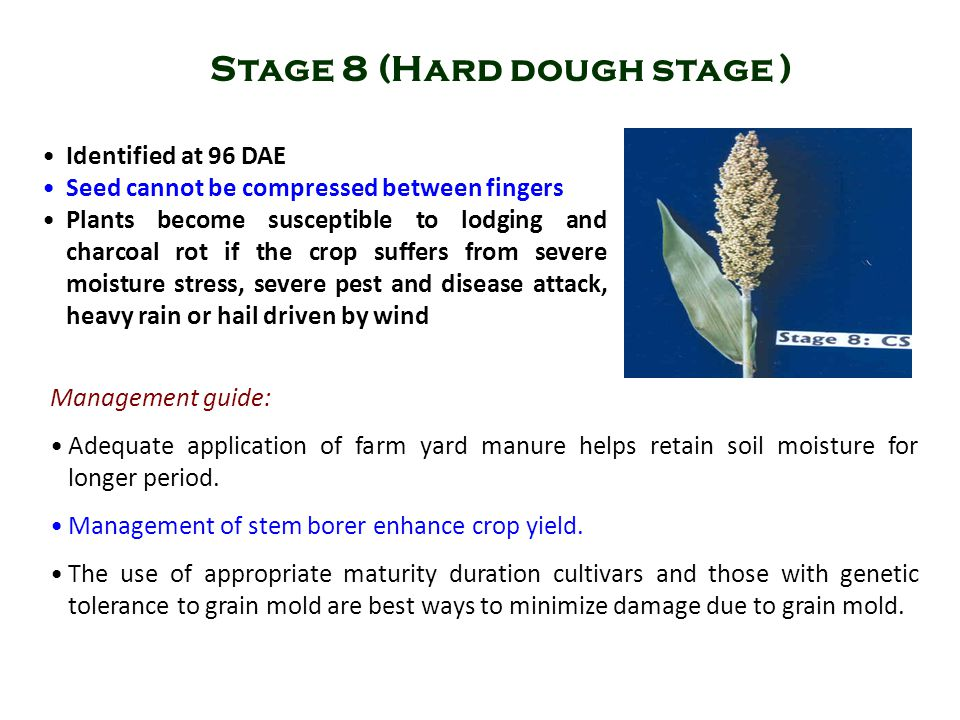 Identified at 96 DAE Seed cannot be compressed between fingers Plants become susceptible to lodging and charcoal rot if the crop suffers from severe m