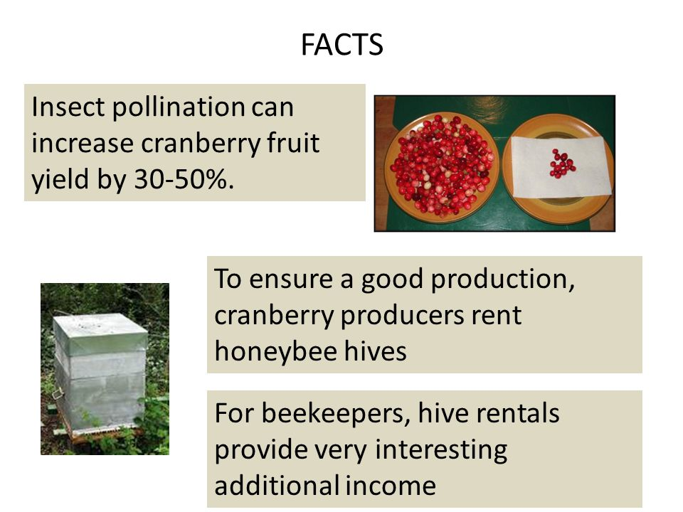 Photo credit: daamaaextweb.gnb.ca FACTS … on the other hand … during flowering It is important to protect this crop against the Cranberry fruit worm (Acrobasis vaccinii) at risk of losing 20% to 35% of the harvest In organic production, the potential loss can reach up to $ 2800 - $ 5000 per acre.