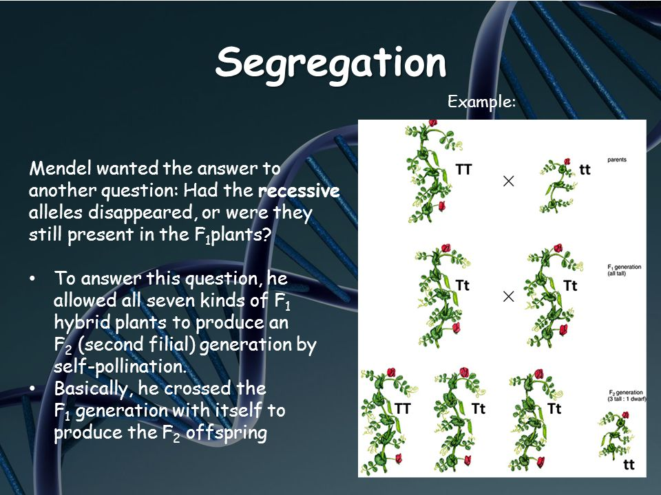 Segregation Mendel wanted the answer to another question: Had the recessive alleles disappeared, or were they still present in the F 1 plants? To answ