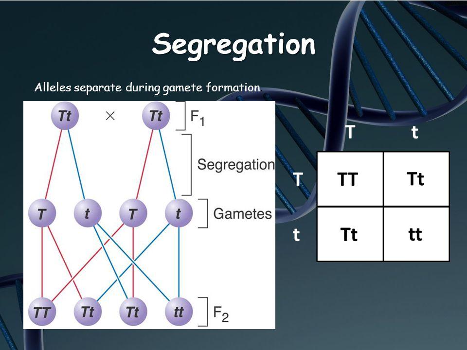 Segregation Alleles separate during gamete formation.