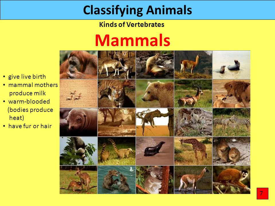 Classifying Animals Kinds of Vertebrates give live birth mammal mothers produce milk warm-blooded (bodies produce heat) have fur or hair Mammals 7