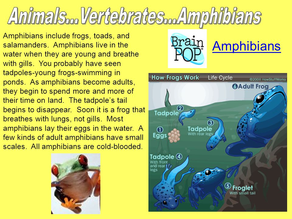 Amphibians include frogs, toads, and salamanders. Amphibians live in the water when they are young and breathe with gills. You probably have seen tadp