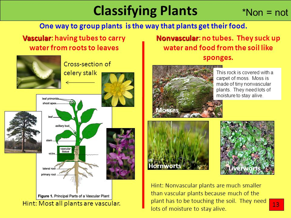 Classifying Plants One way to group plants is the way that plants get their food. Vascular Vascular: having tubes to carry water from roots to leaves