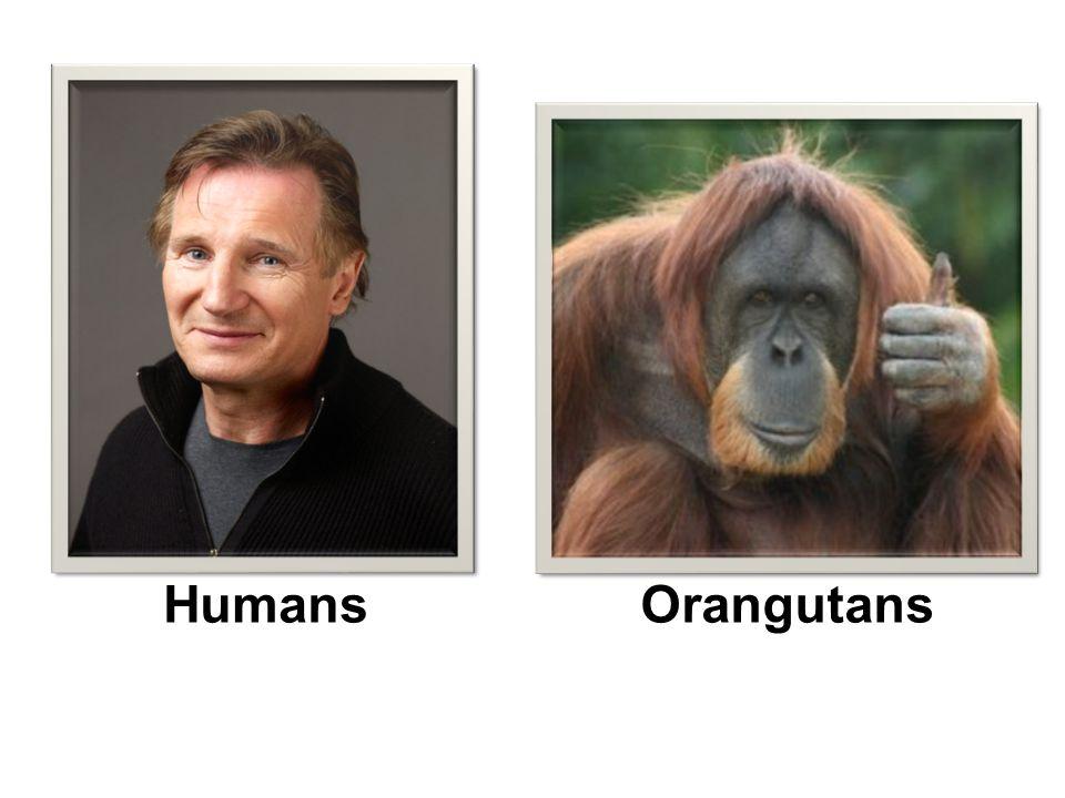 HumansOrangutans