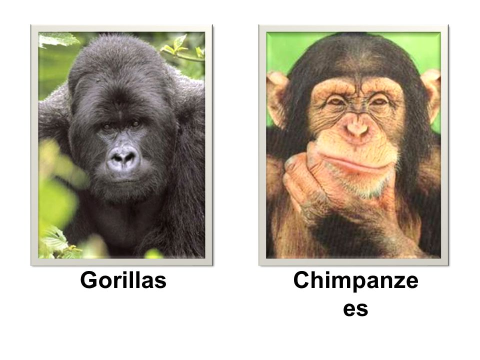 GorillasChimpanze es