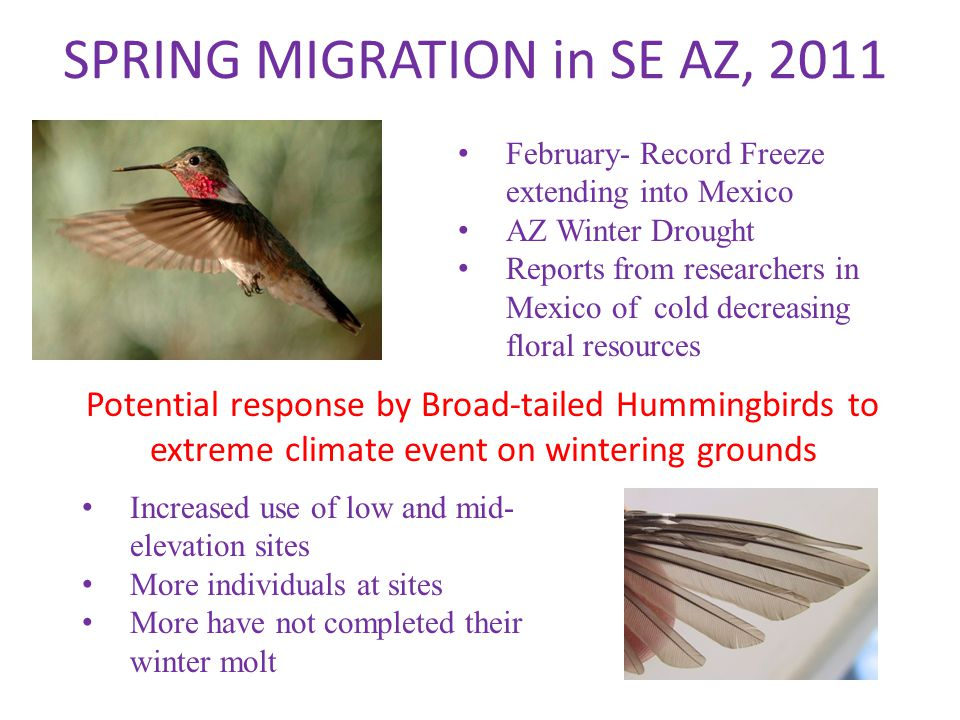 SPRING MIGRATION in SE AZ, 2011 February- Record Freeze extending into Mexico AZ Winter Drought Reports from researchers in Mexico of cold decreasing floral resources Potential response by Broad-tailed Hummingbirds to extreme climate event on wintering grounds Increased use of low and mid- elevation sites More individuals at sites More have not completed their winter molt