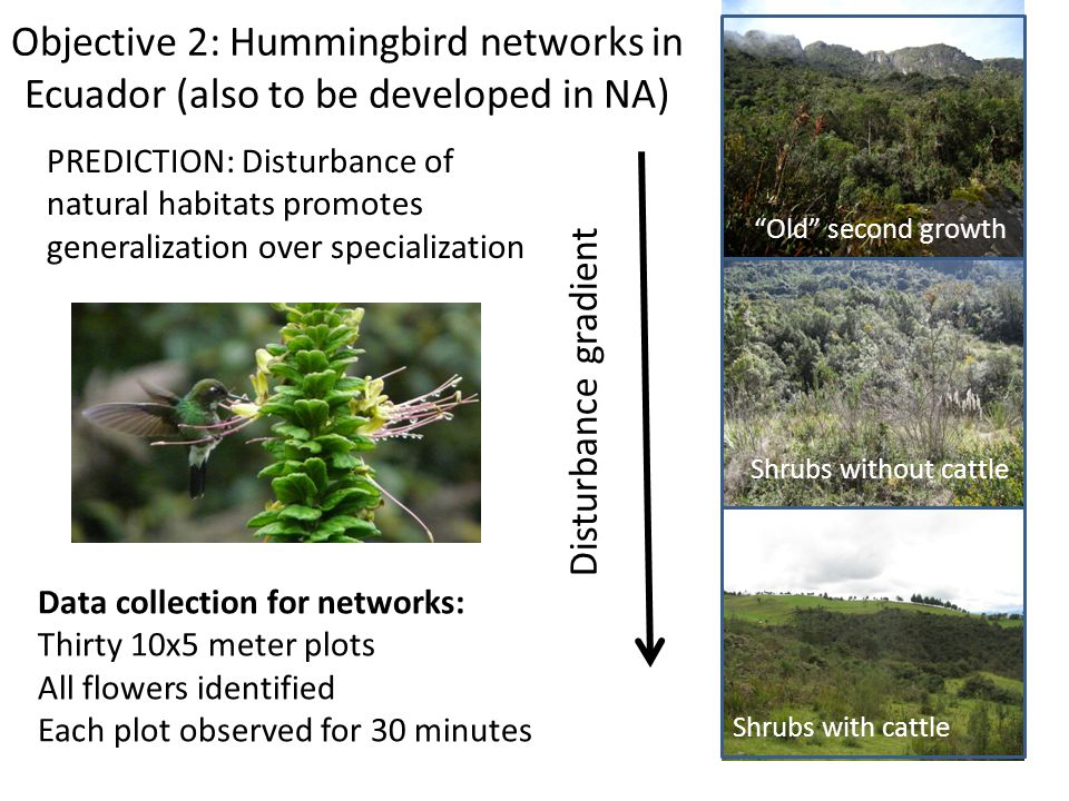 Objective 2: Hummingbird networks in Ecuador (also to be developed in NA) Disturbance gradient Old second growth Shrubs without cattle Shrubs with cattle Data collection for networks: Thirty 10x5 meter plots All flowers identified Each plot observed for 30 minutes PREDICTION: Disturbance of natural habitats promotes generalization over specialization