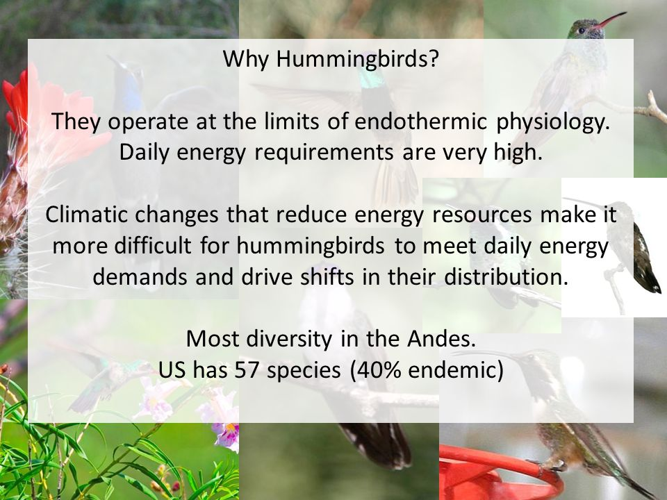 Why Hummingbirds. They operate at the limits of endothermic physiology.