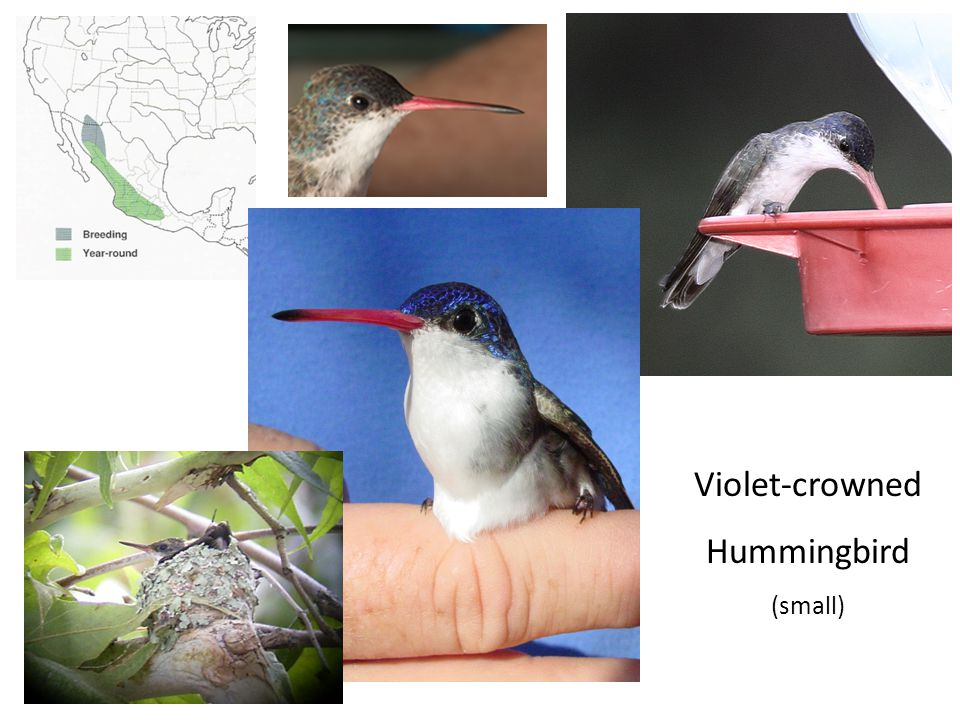 Violet-crowned Hummingbird (small)