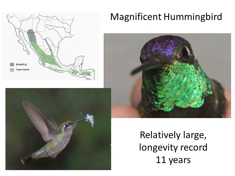 Blue-throated Hummingbird (relatively large, highly territorial)