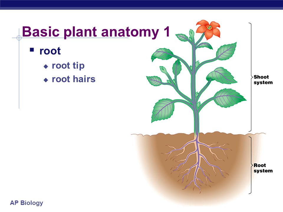 AP Biology Parts of the Flower The flower has both male and female reproductive parts.