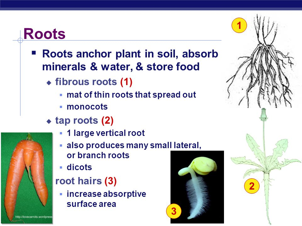 AP Biology Basic plant anatomy 1 root root tip root hairs