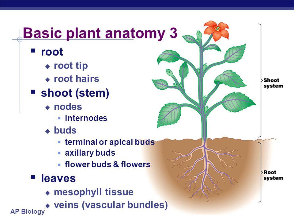 AP Biology Modified shoots stolons (strawberries)rhizome (ginger) tuber (potato)bulb (onion)