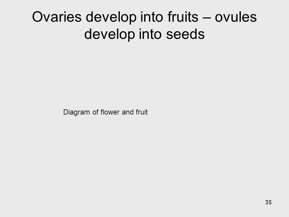 Diagram of flower and fruit 35 Ovaries develop into fruits – ovules develop into seeds