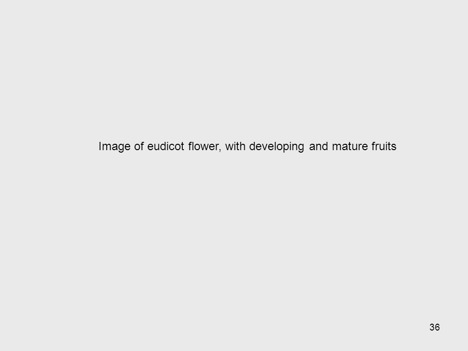 Image of eudicot flower, with developing and mature fruits 36