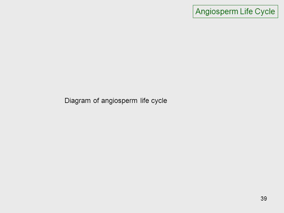 Diagram of angiosperm life cycle 39 Angiosperm Life Cycle