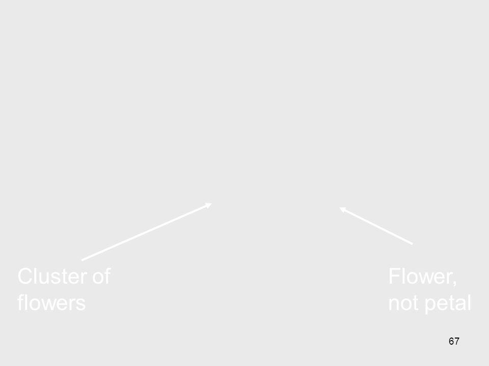 67 Flower, not petal Cluster of flowers