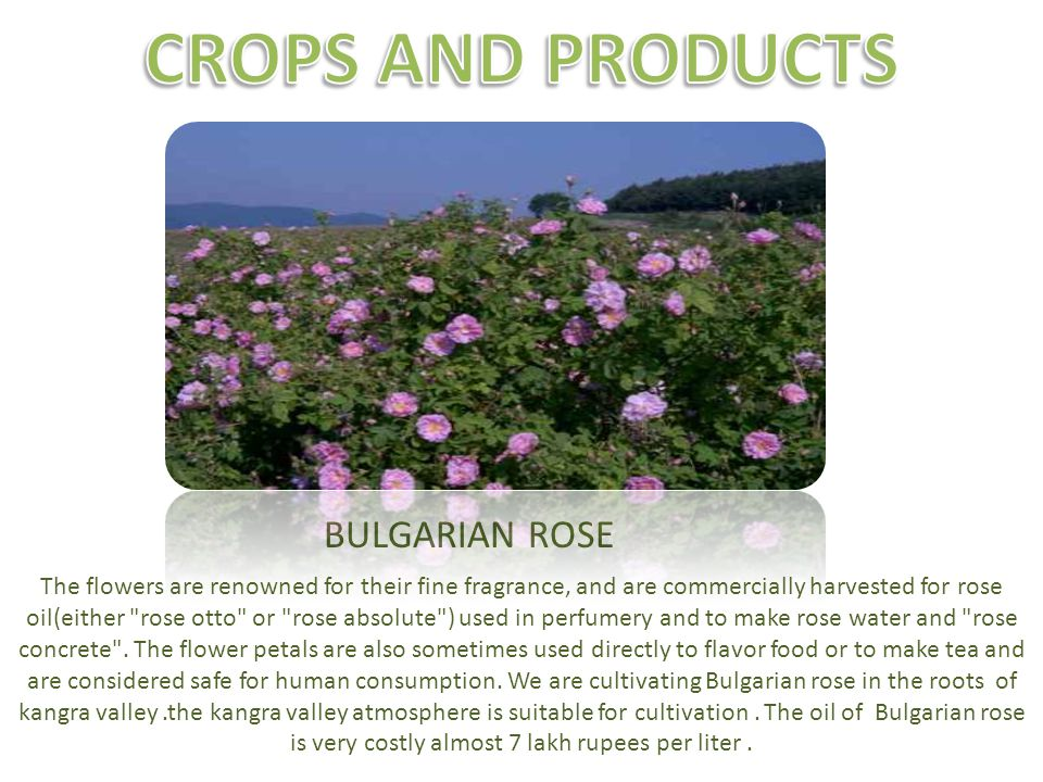 BULGARIAN ROSE The flowers are renowned for their fine fragrance, and are commercially harvested for rose oil(either