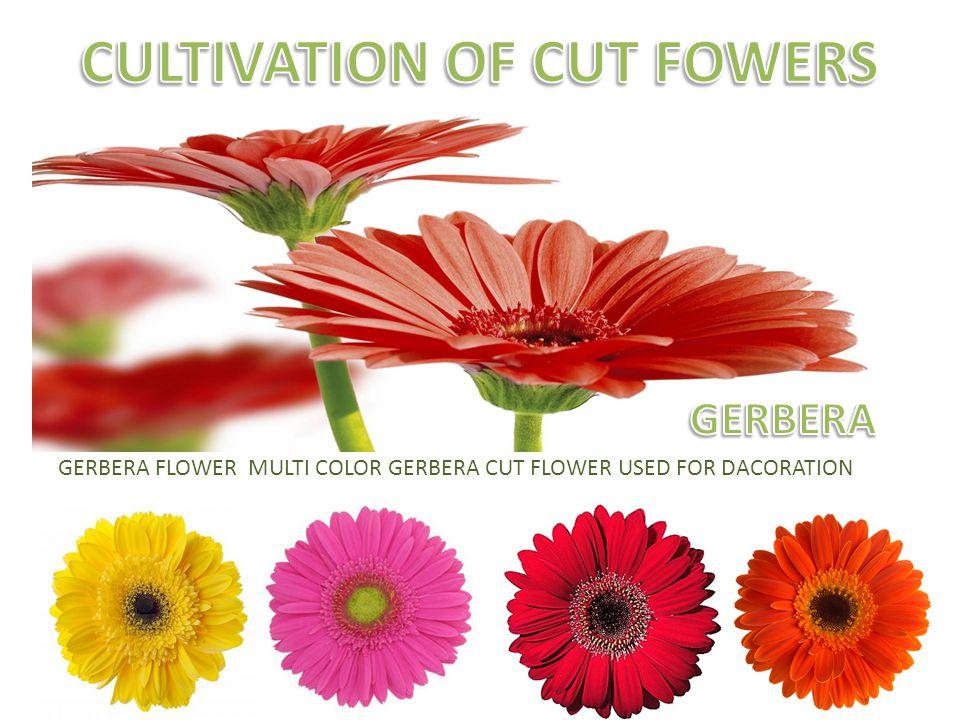 GERBERA FLOWER MULTI COLOR GERBERA CUT FLOWER USED FOR DACORATION