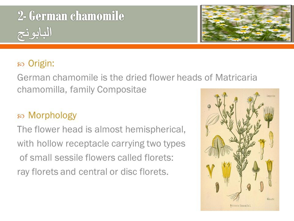 Origin: German chamomile is the dried flower heads of Matricaria chamomilla, family Compositae Morphology The flower head is almost hemispherical, with hollow receptacle carrying two types of small sessile flowers called florets: ray florets and central or disc florets.