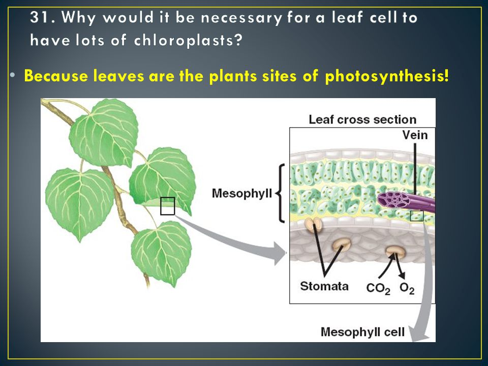 Because leaves are the plants sites of photosynthesis!