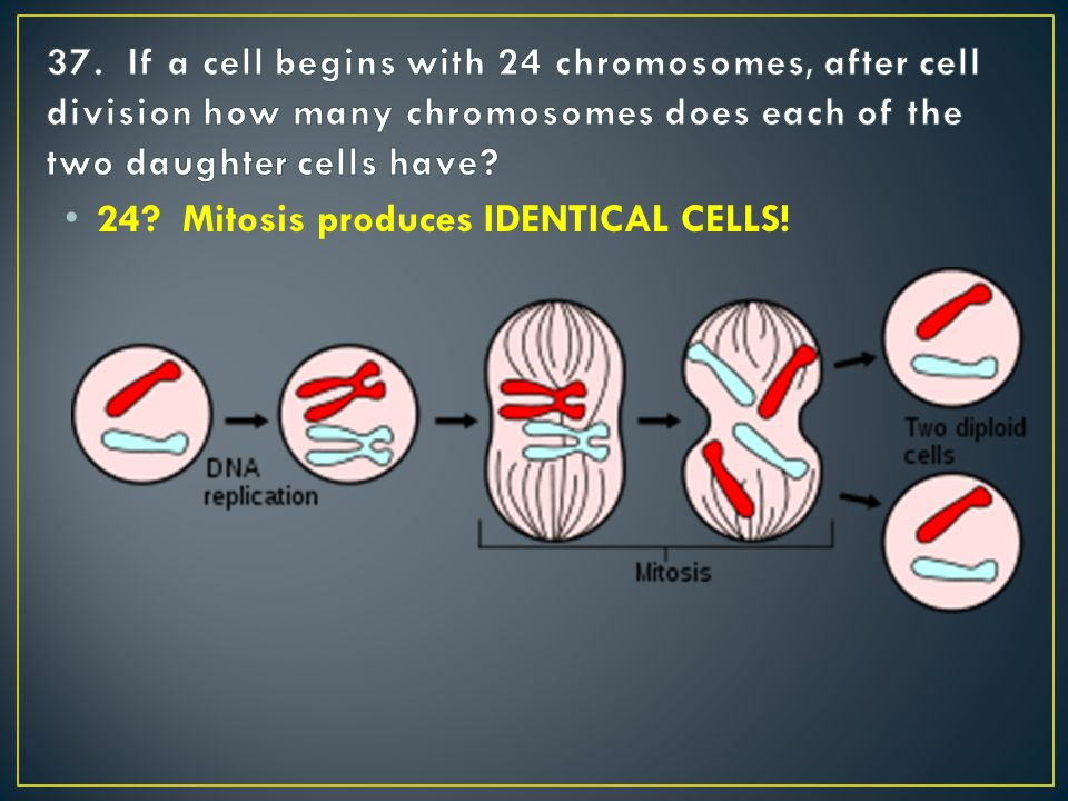 24 Mitosis produces IDENTICAL CELLS!